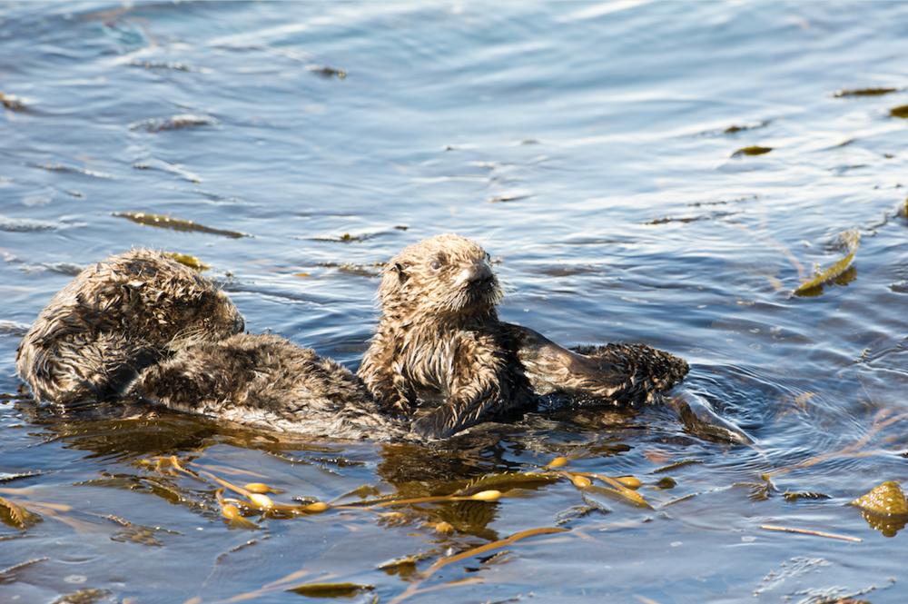 sea otters.png
