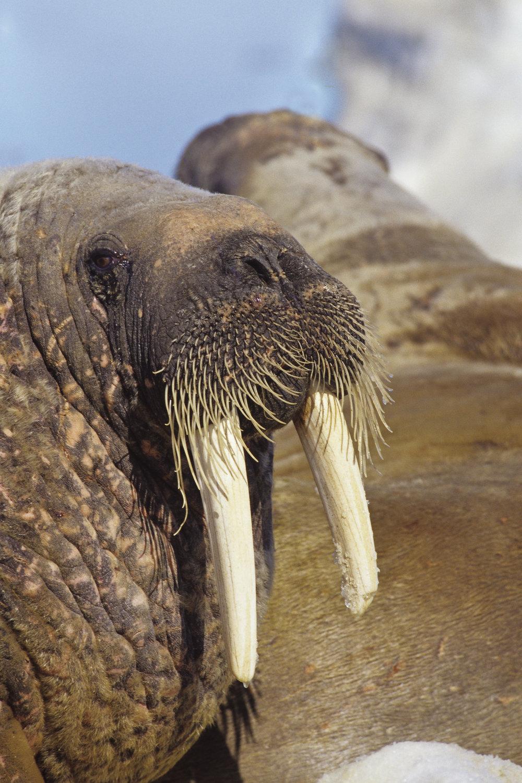 Walrus-08.jpg
