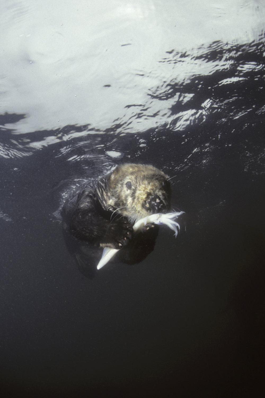 SEA OTTER EATING UW 1.jpg
