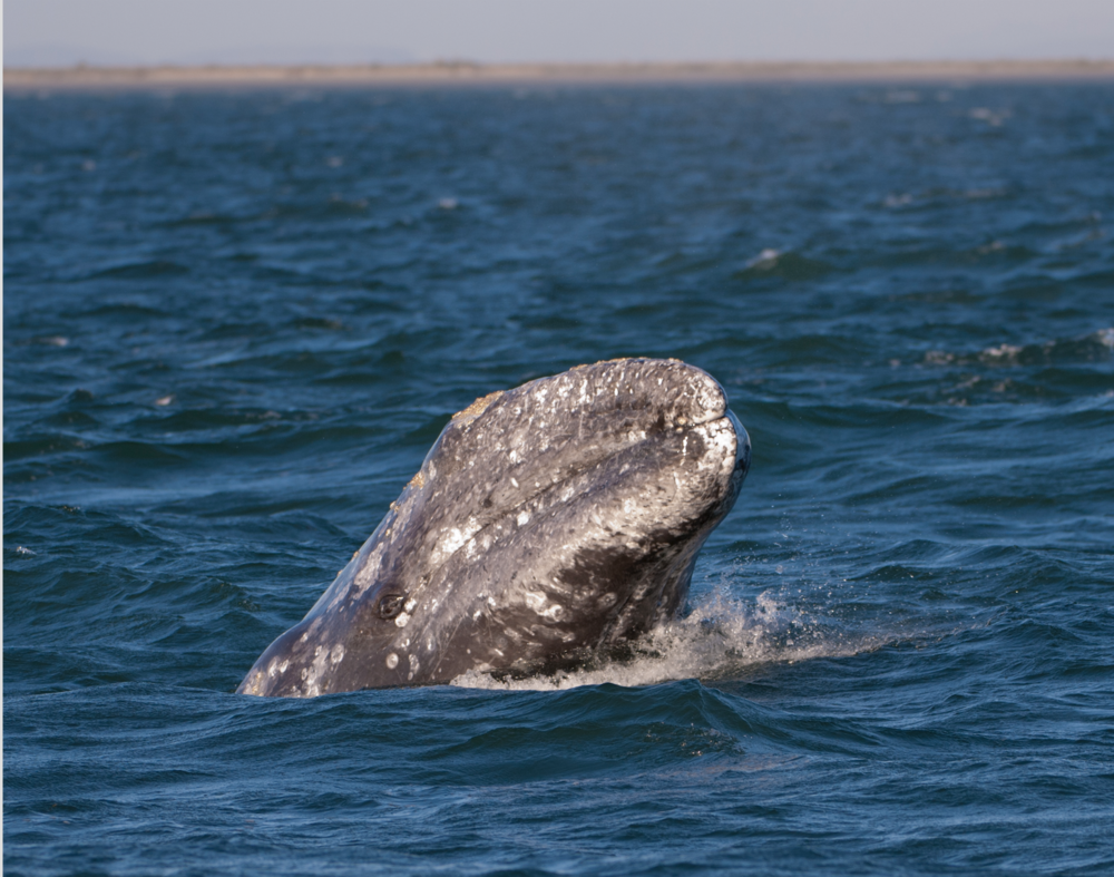 Gray Whale.png