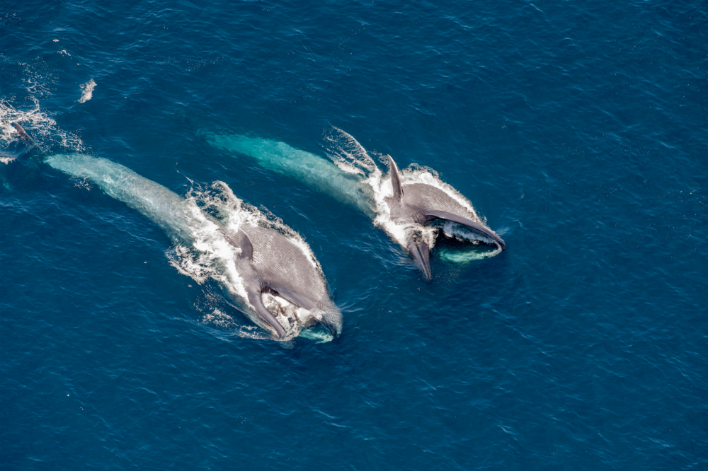 PHOTO | DOC WHITE, BLUE WHALES