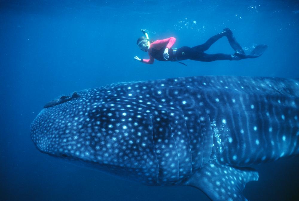 cici whale shark .png