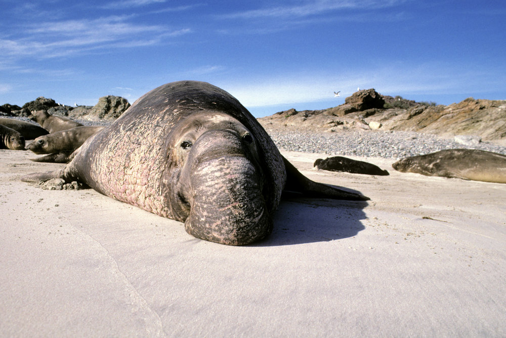 BULL ELEPHANT SEAL17 copy.jpg