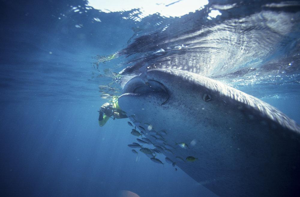 Whale Shark_18.jpg
