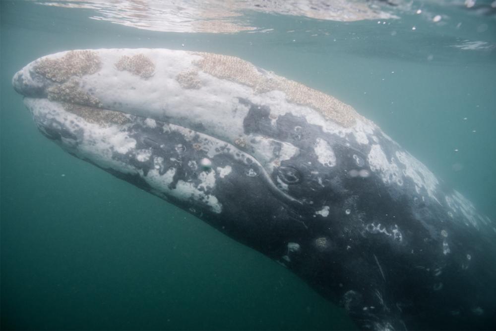 Gray Whale Ocean Magic Prodcution Baja.png