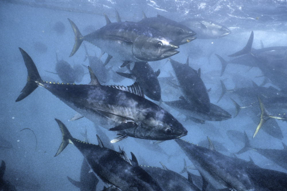 Southernbluefin Tuna Ocean Magic Productions.png