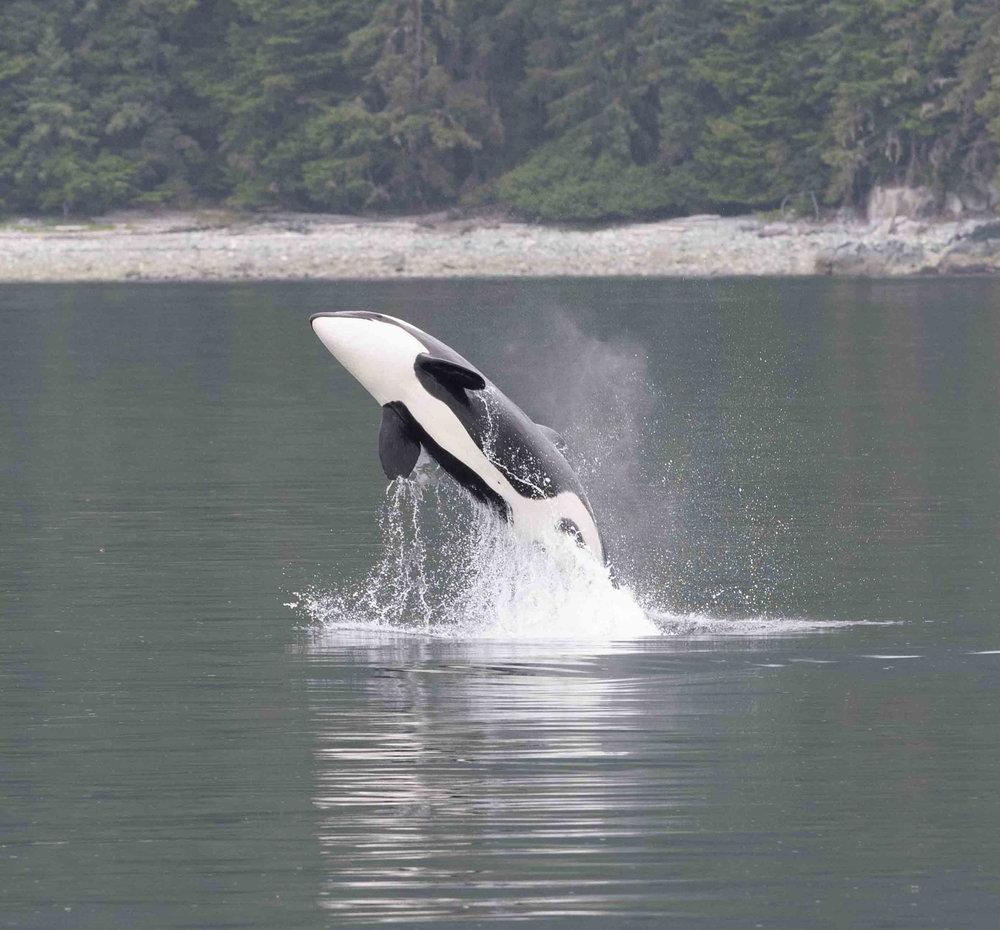 5. Orca breach.jpg