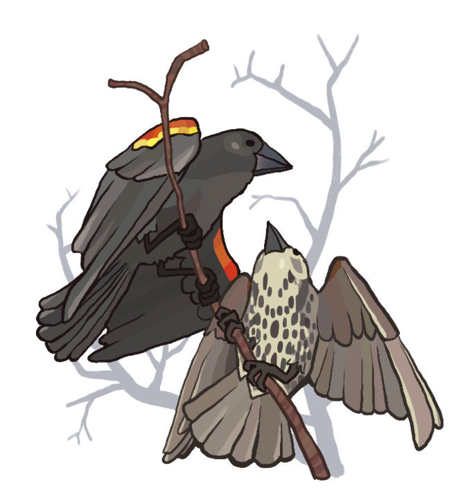 redwinged blackbird popup copy.png