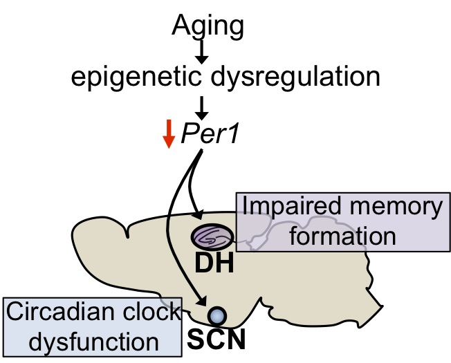 Age-related epigenetic repression of  Per1  could have different outcomes depending on the brain region affected.