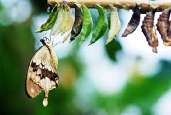 cocoon butterfly.jpg