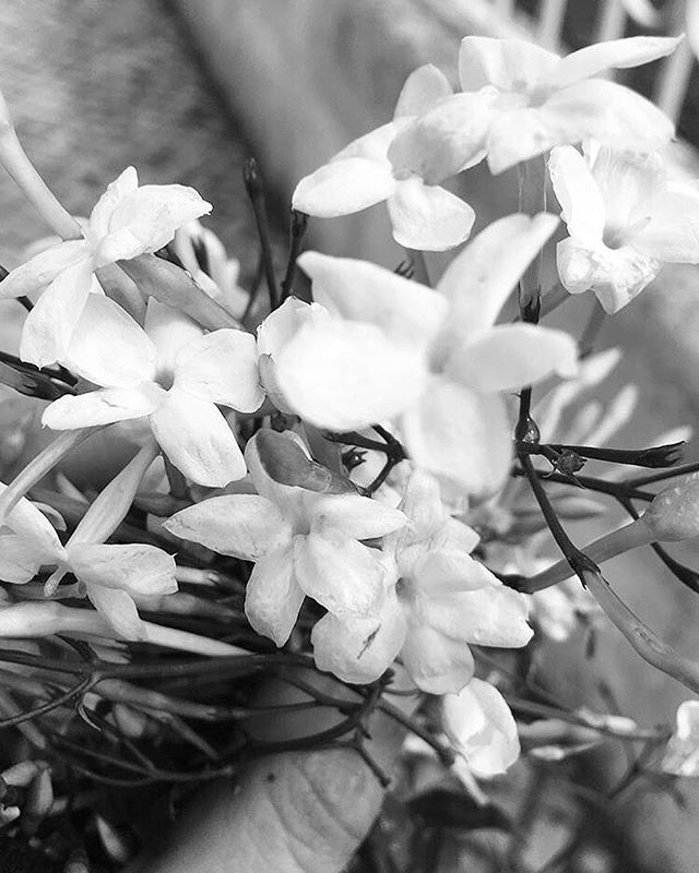 Jasmine a natural aphrodisiac and our favourite scent.