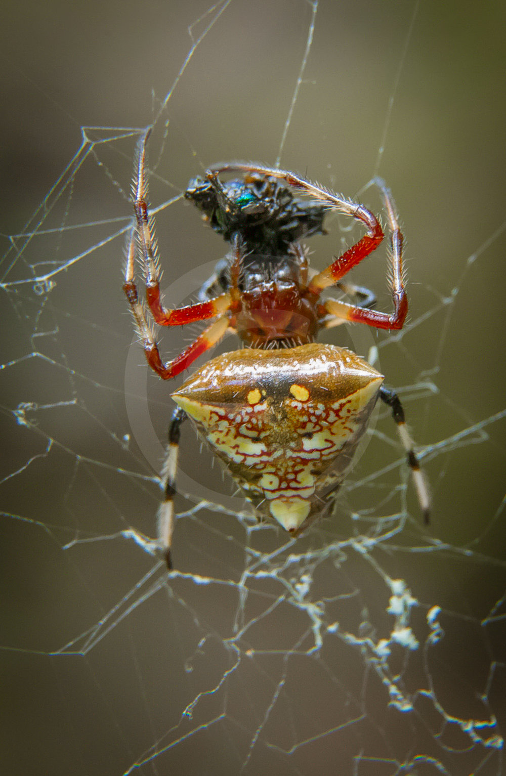 Arrowhead Spider