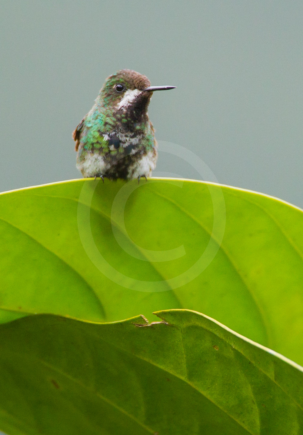 Green Thorntail