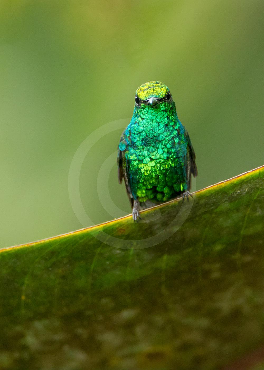 Western Emerald