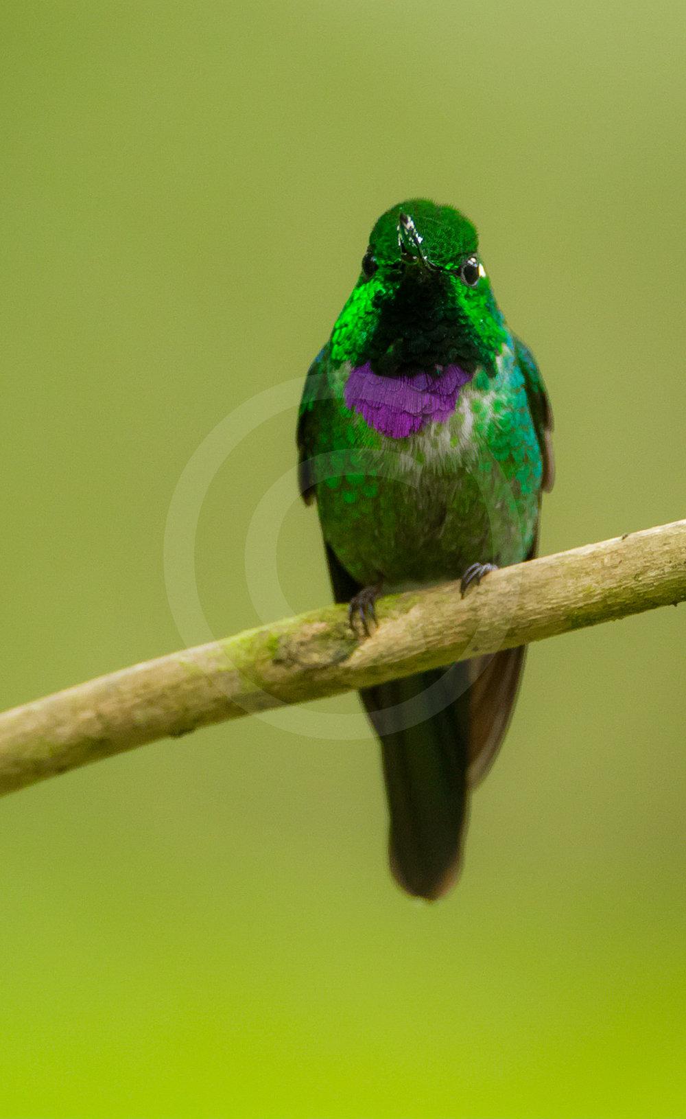Purple-bibbed White-tip