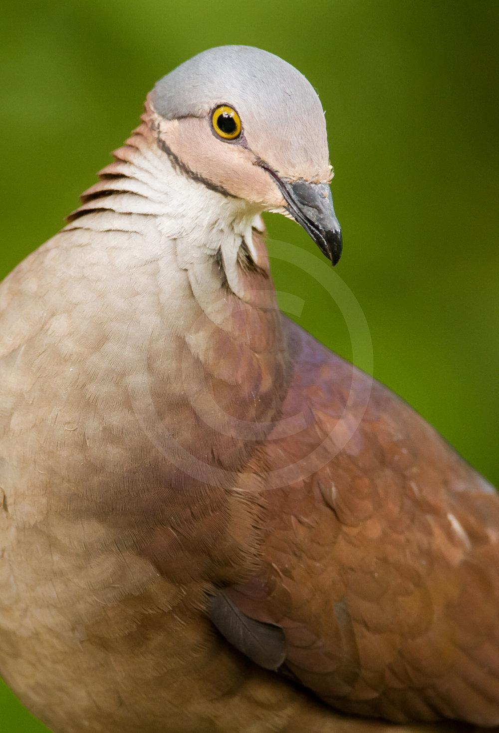 White-throated Quail Dove