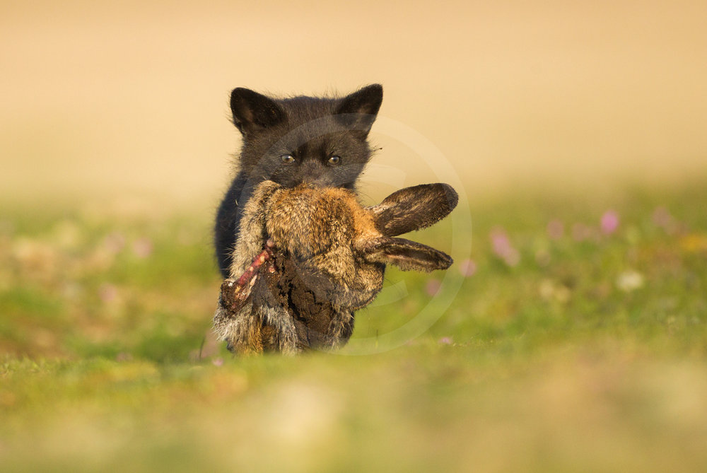 Red Fox Kit with Rabbit