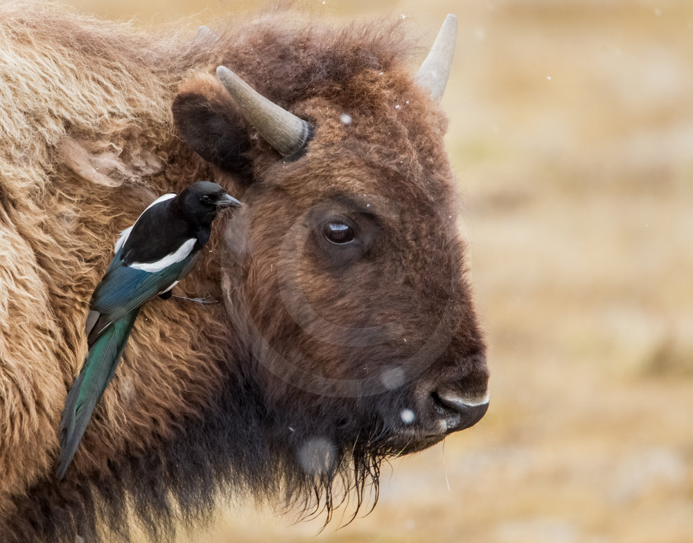 American Bison and Black-billed Magpie