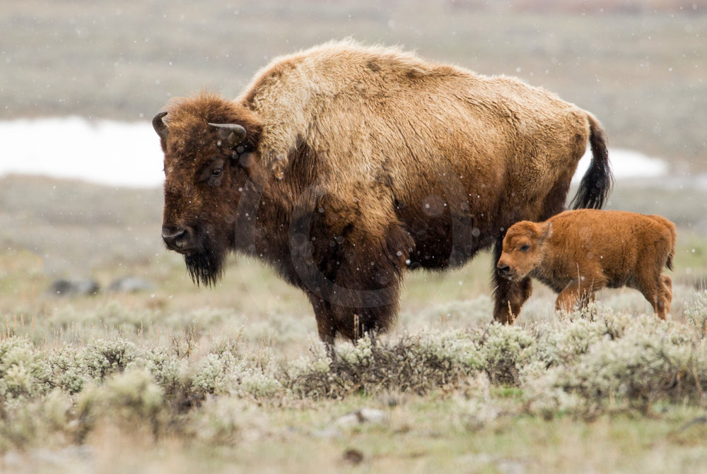 American Bison and Calf
