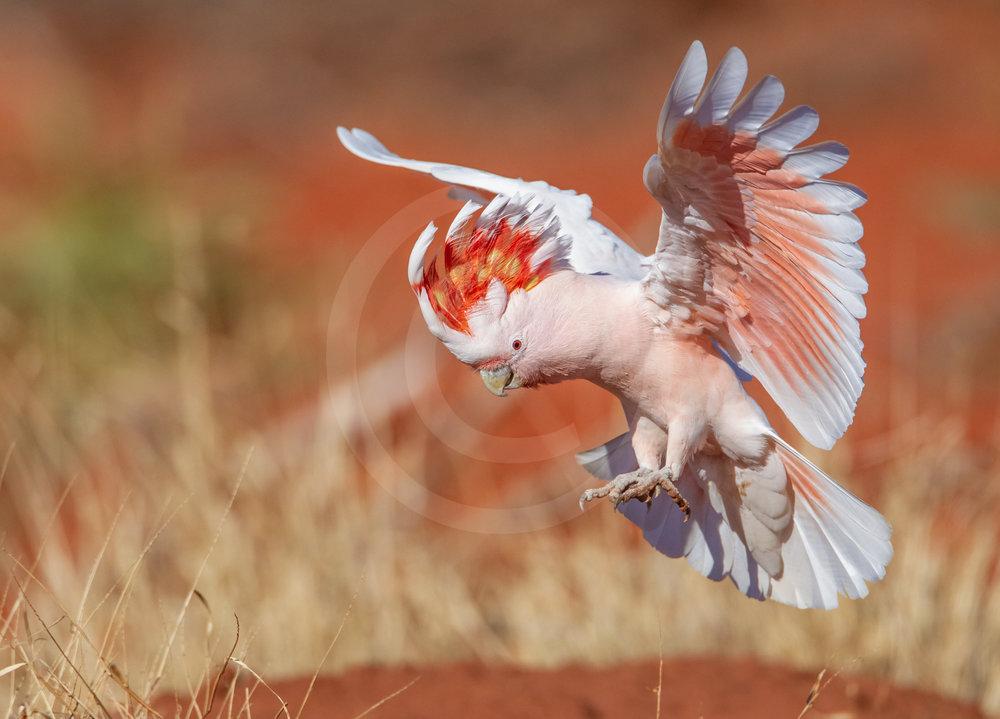 Pink (Major Mitchell's) Cockatoo