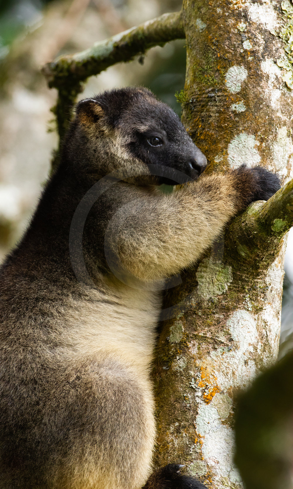 Lumholt'z Tree Kangaroo
