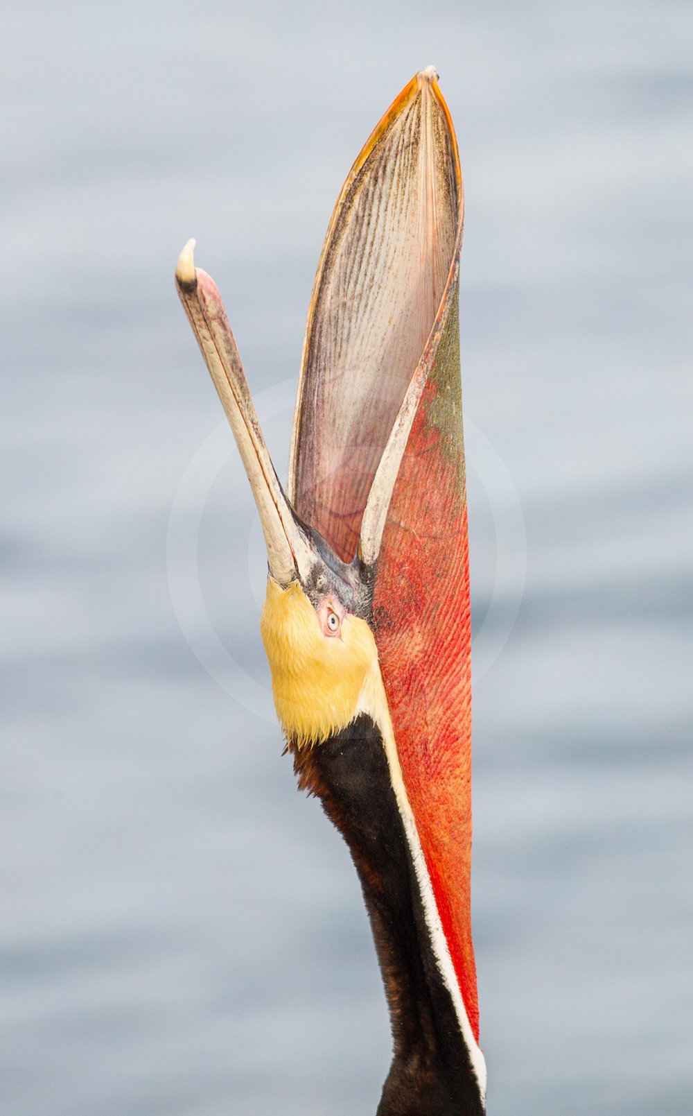 Brown Pelican (Breeding)