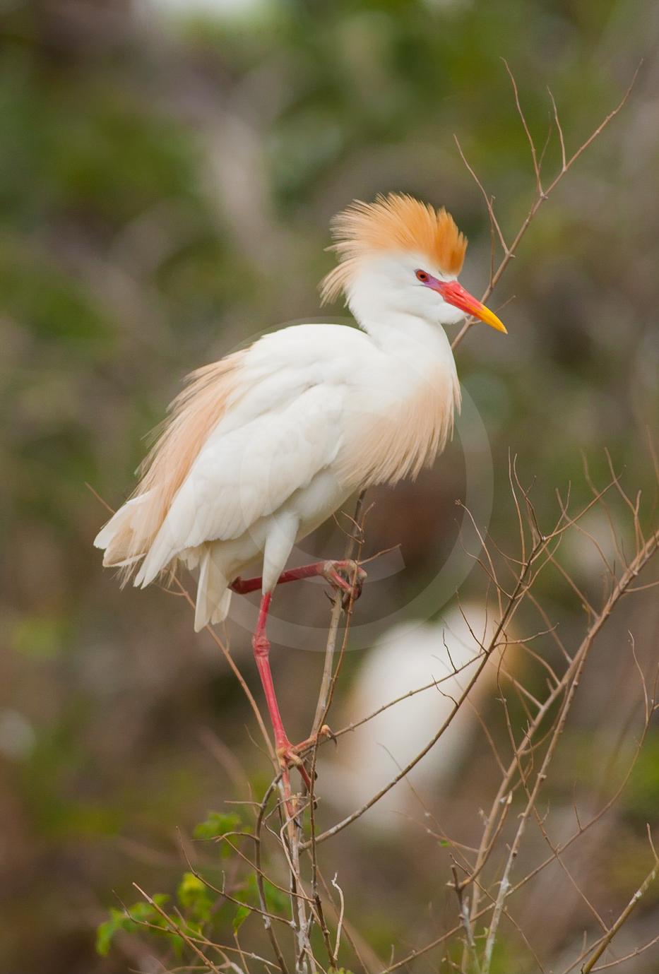 Cattle Egret (Breeding)