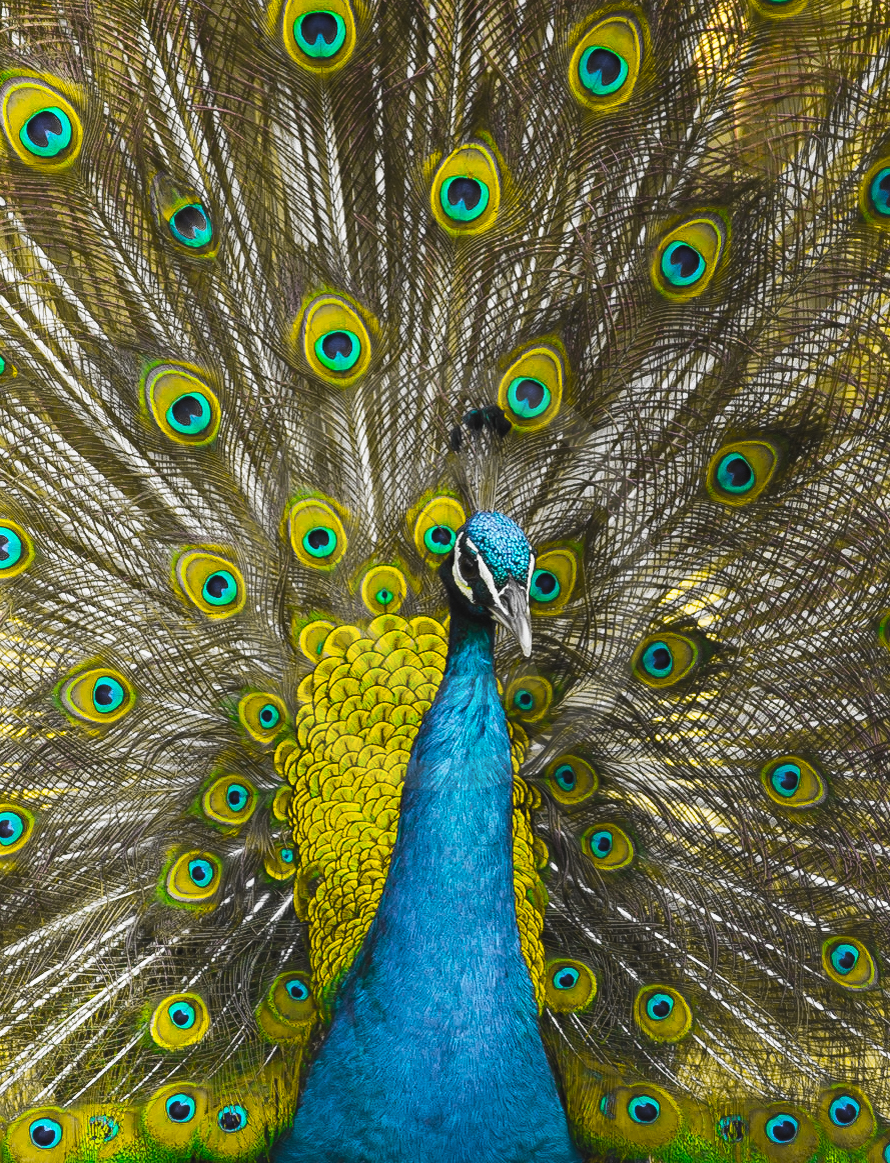 Indian Peafowl (C)