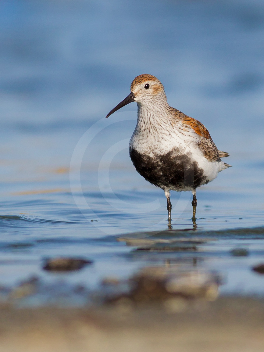 Dunlin (Breeding)