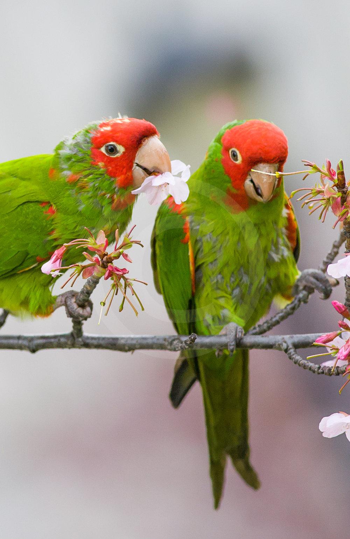 Mitred Parakeet