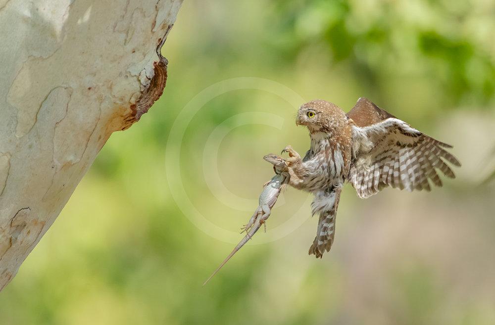 Northern Pygmy Owl (Mountain)