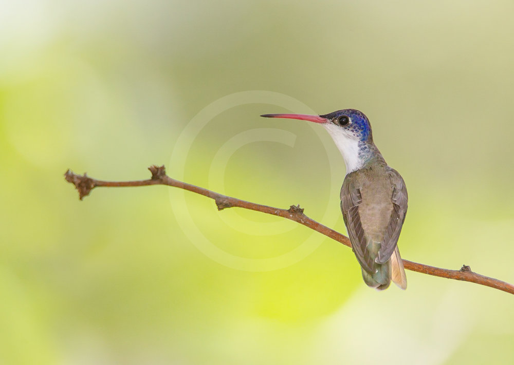 Violet-crowned Hummingbird