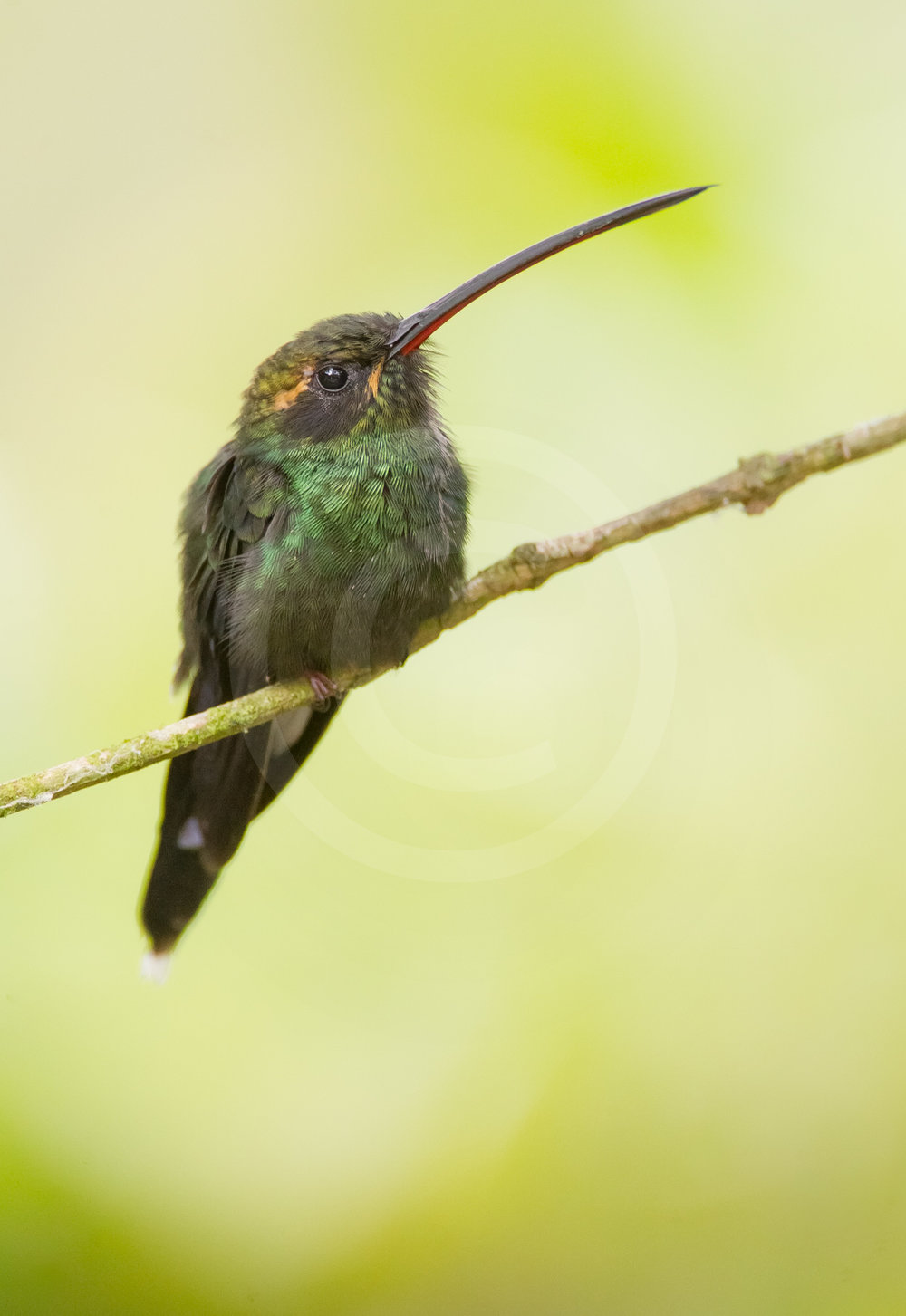 White-whiskered Hermit