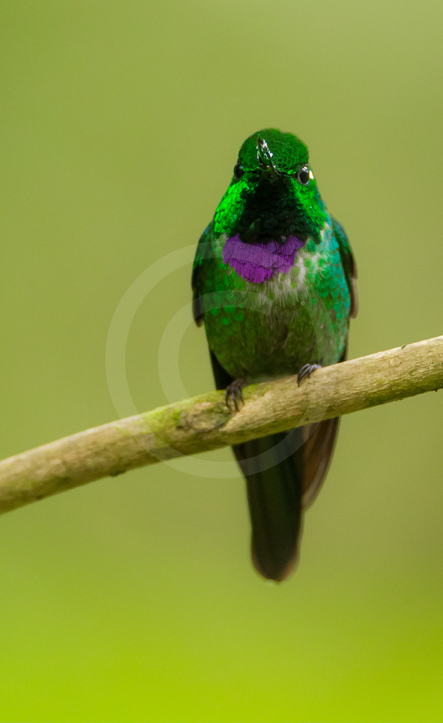 Purple-bibbed White-tip