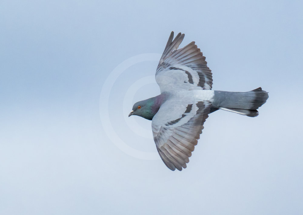 Rock Dove (Ferrel Pigeon)