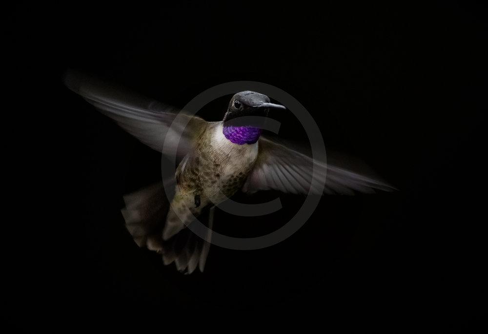 "Black-chinned Hummingbird ""Amethyst"""