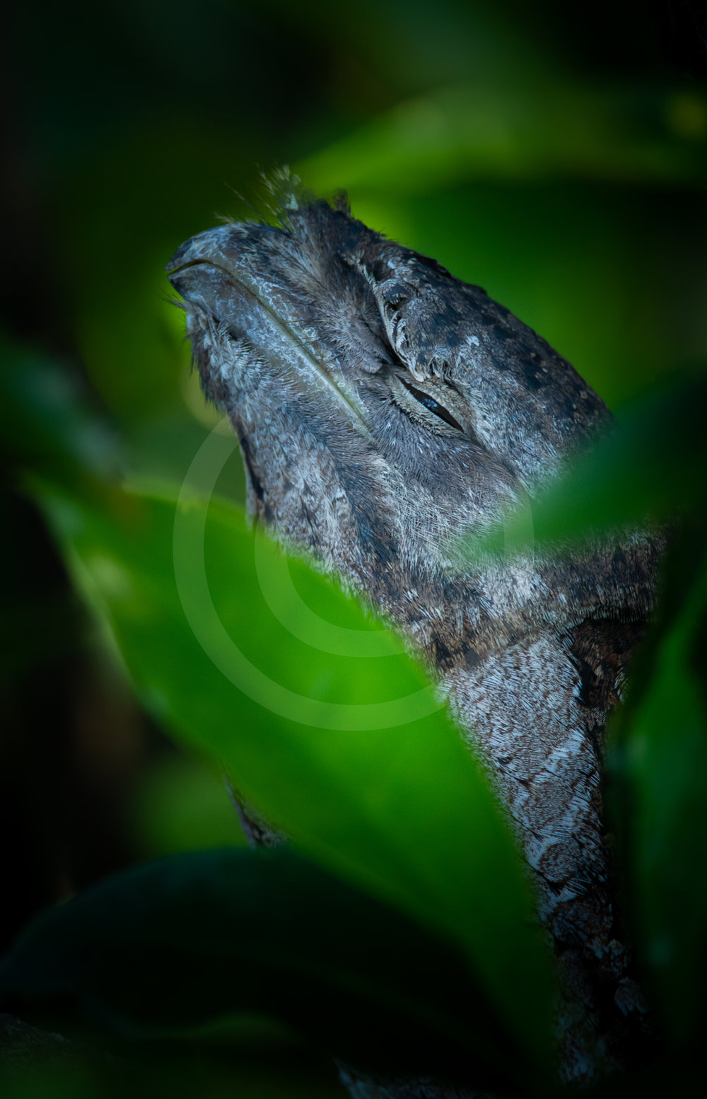 """Papuan Frogmouth """"Framed"""""""
