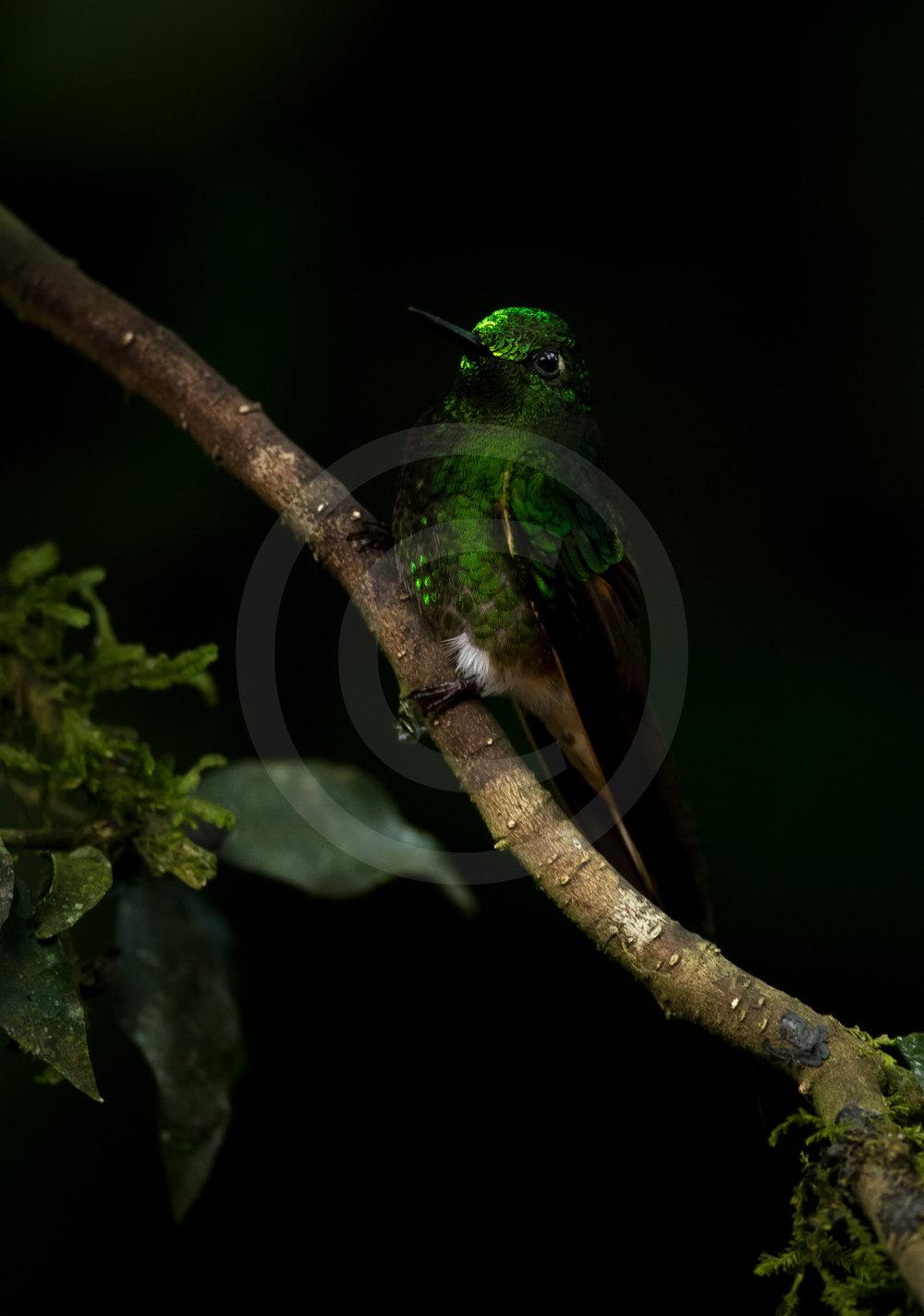 "Buff-tailed Coronet ""Emerald"""
