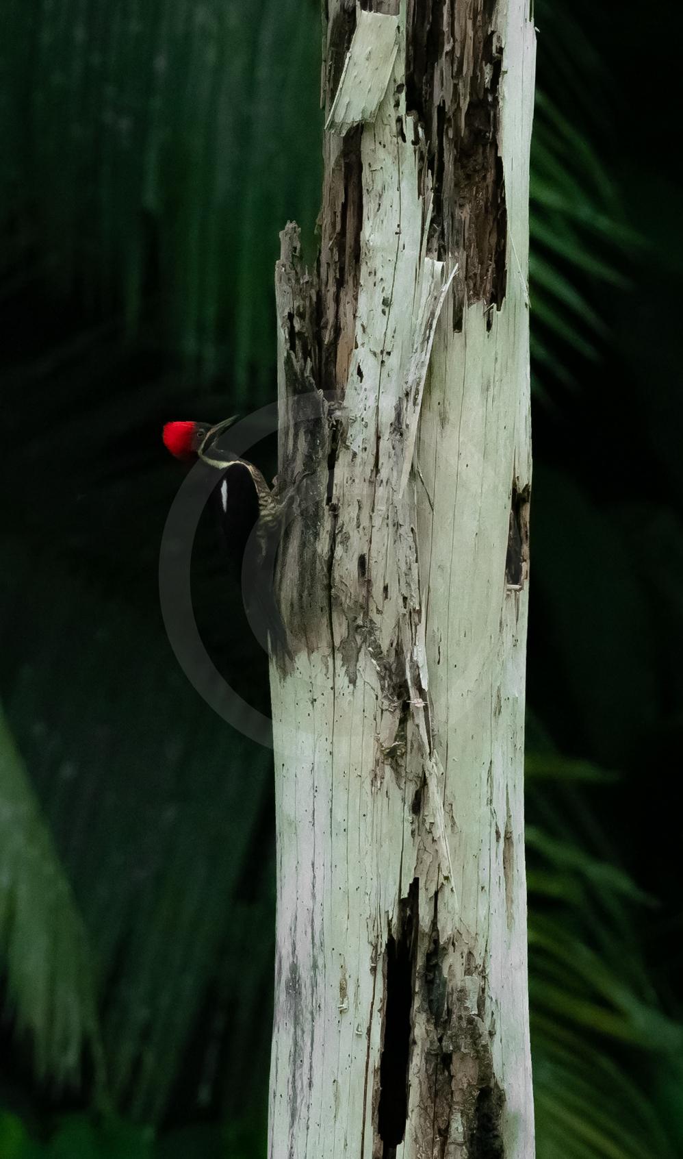 """Lineated Woodpecker """"Hidden Ruby"""""""