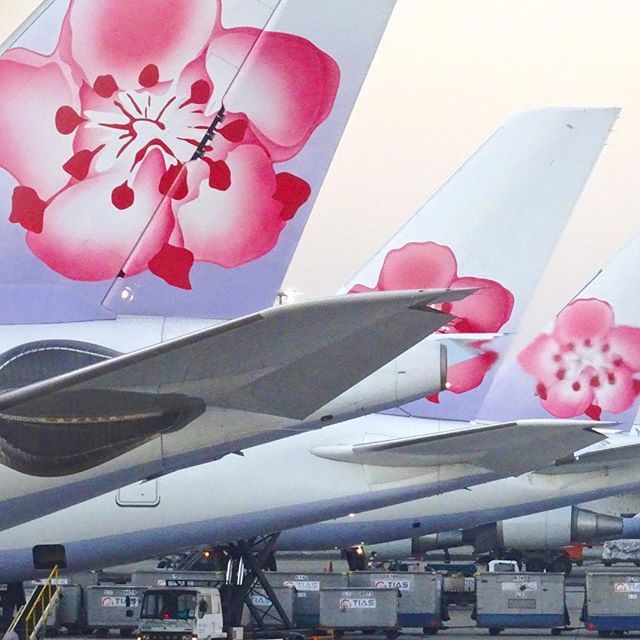 Blossoming year-long #chinaairlines #taipei