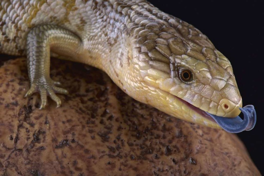 blue tongue lizard.jpg
