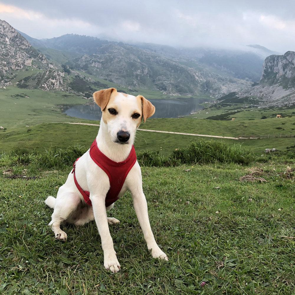 Pipper en los Lagos de Covadonga.