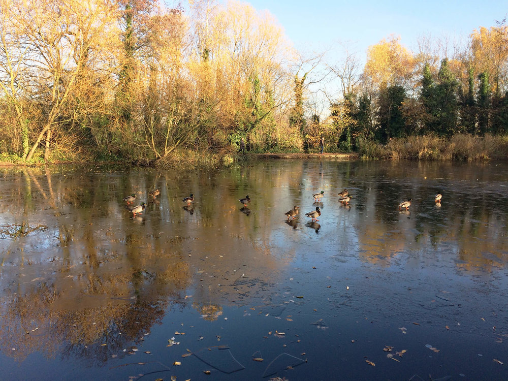Wandsworth Common Ducks