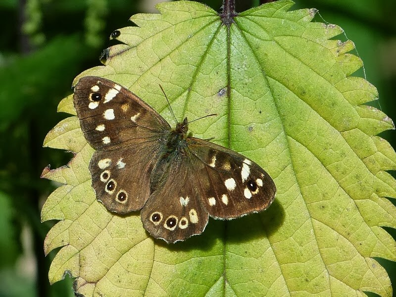 Wandsworth Speckled Wood