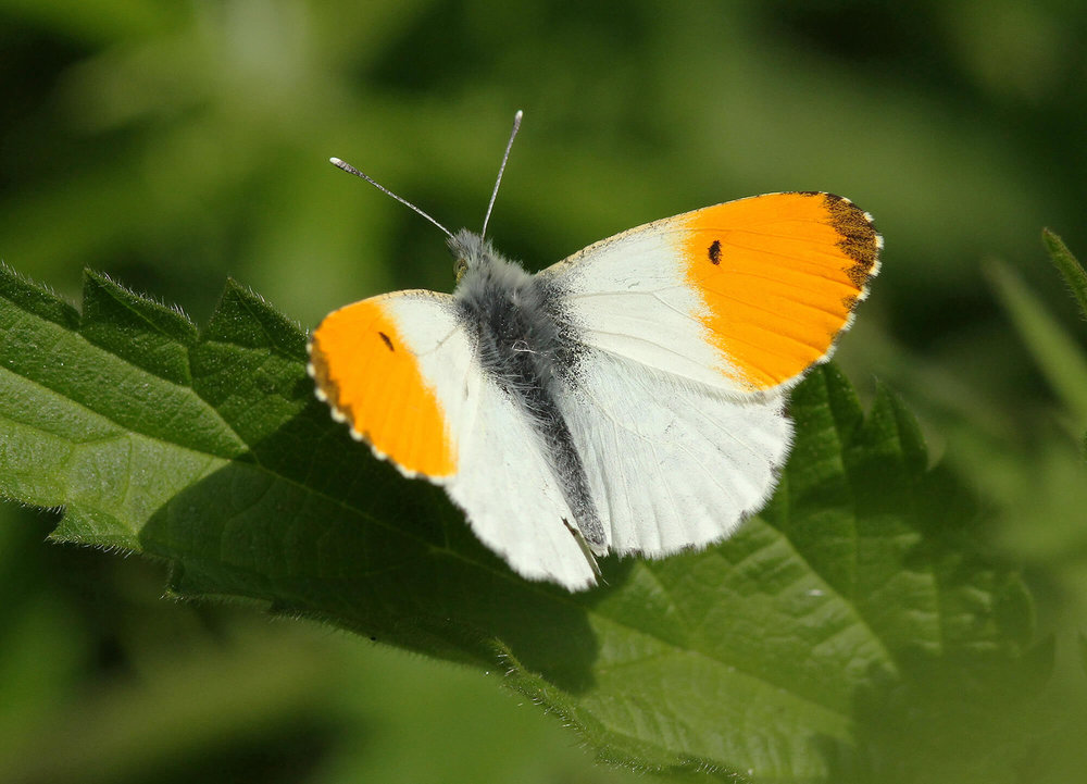 Wandsworth Orange Tip Butterfly