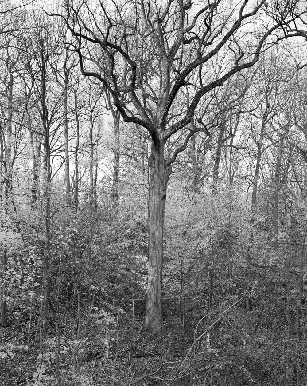 Tulip Tree, Alley Pond Park, Queens 2011   From Mitch Epstein's series  New York Arbor