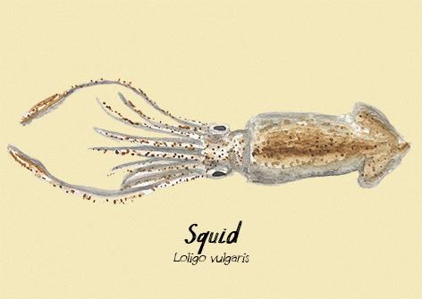 Squid postcard.jpg