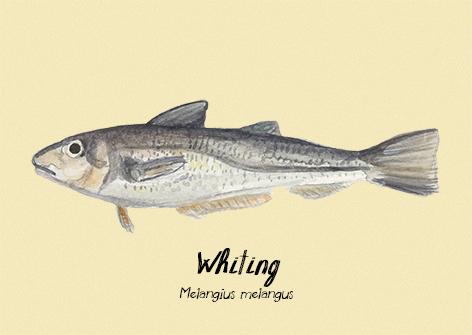 Whiting postcard.jpg