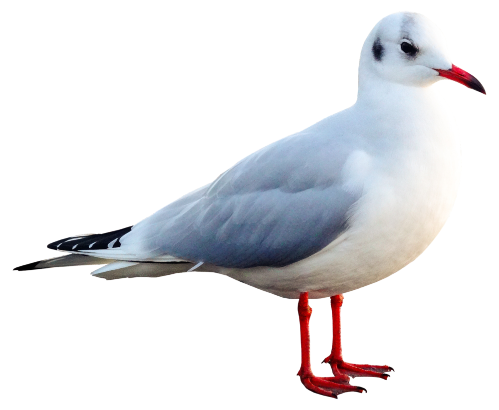 seagull-2925346_1920.png