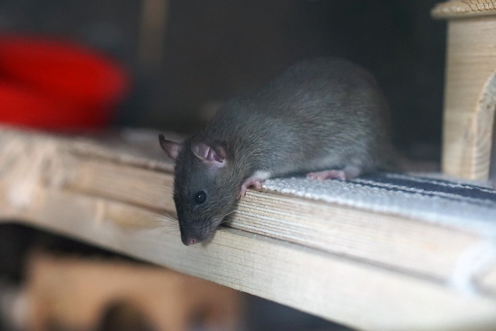 Rat Pest Control in Coleshill.jpg